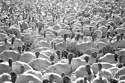 Photograph - Turkey Farm by Jim Corwin