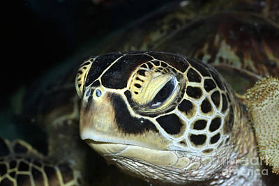 Reptiles Royalty-Free and Rights-Managed Images - Turtle by MotHaiBaPhoto Prints