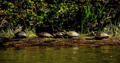 Photograph - 5 Turtles by Steven Clipperton