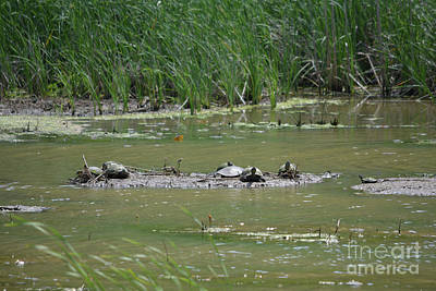 Photograph - Turtles Sunbathing by Ruth Housley