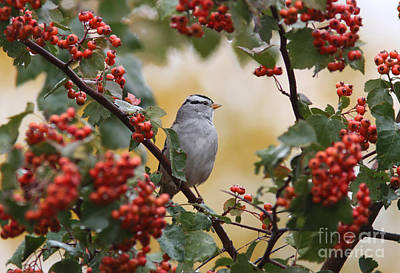Hawthorne Tree Photograph - White Crowned Sparrow by Gary Wing