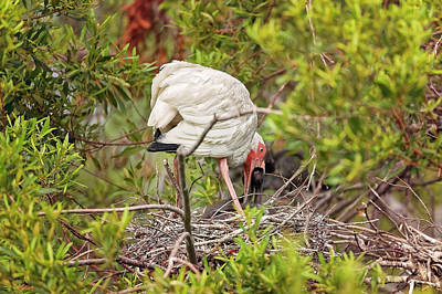 Photograph - White Ibis In Hilton Head Island by Peter Lakomy