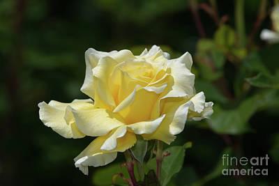 Photograph - White Licorice Rose by Glenn Franco Simmons
