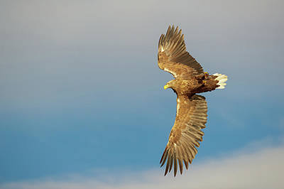 Photograph - White-tailed Eagle by Andy Astbury