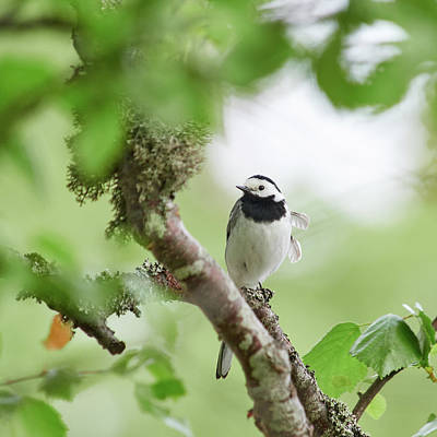 Jouko Lehto Royalty-Free and Rights-Managed Images - White wagtail by Jouko Lehto