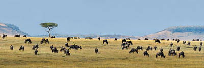 Wildebeest Photograph - Wildebeests Connochaetes Taurinus by Panoramic Images