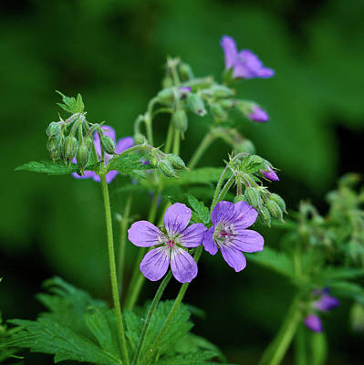 Photograph - Wood Cranesbill by Jouko Lehto