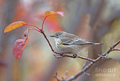 Yellow Photograph - Yellow-rumped Warbler by Gary Wing