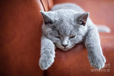 Leather Photograph - Young Cute Cat Resting On Leather Sofa. The British Shorthair Kitten With Blue Gray Fur by Michal Bednarek
