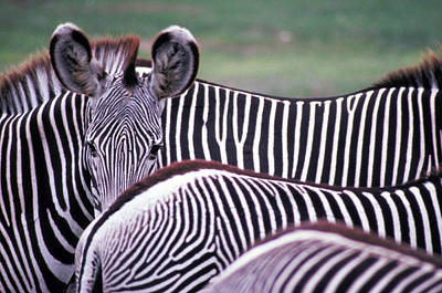 Photograph - Zebras In Kenya by Carl Purcell