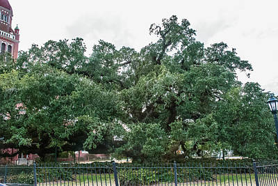 Photograph - 500 Year Old Tree by Robert Hebert