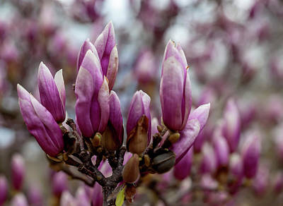 Lady Bug - Magnolia by Robert Ullmann