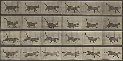 Cat Photograph - Animal Locomotion by Eadweard J Muybridge