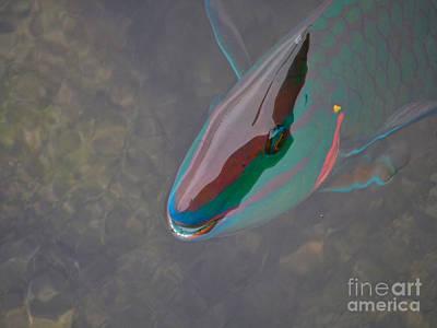 Photograph - 55- Parrot Fish by Joseph Keane