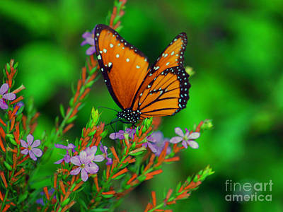 Photograph - 56- Viceroy Butterfly by Joseph Keane