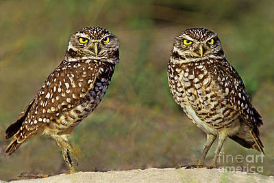 Photograph - 563977016 Burrowing Owls Athene Cunicularia Wild Florida by Dave Welling