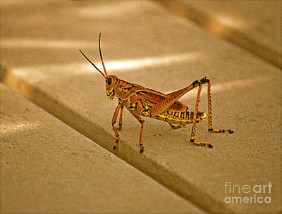 Photograph - 58- Lubber Grasshopper by Joseph Keane