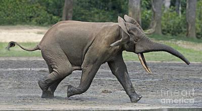 African Forest Elephant Art Print