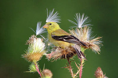 Photograph - American Goldfinch Stony Brook New York by Bob Savage