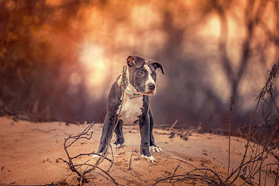 Photograph - American Pitbull  by Peter Lakomy
