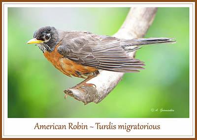 Photograph - American Robin Male Animal Portrait by A Gurmankin