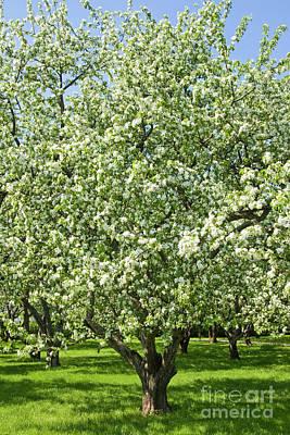 Photograph - Apple Garden In Blossom by Irina Afonskaya