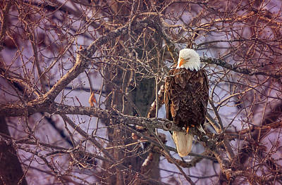 Photograph - Bald Eagle by Peter Lakomy