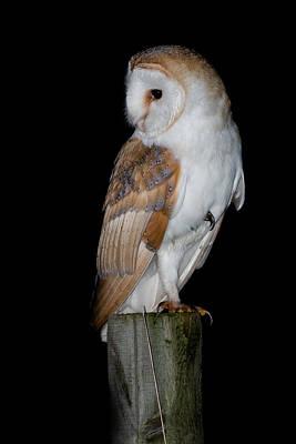 Barn Owl Photograph - Barn Owl by Ian Hufton