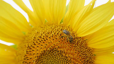 Antique Maps - Bee Collects Pollen On Sunflower In Sunny Day by Elena Saulich