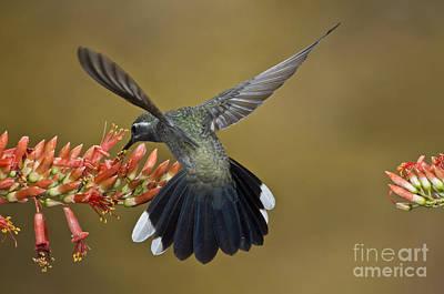 Blue Throat Photograph - Blue-throated Hummingbird by Anthony Mercieca