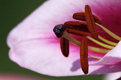 Photograph - Blueberry Crush Lily by Chris Day