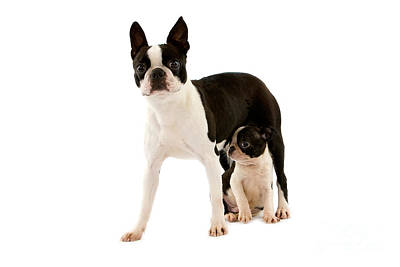 Boston Terrier Dog Art Print by Gerard Lacz