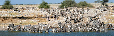 Of Zebras Photograph - Burchells Zebras Equus Quagga by Panoramic Images