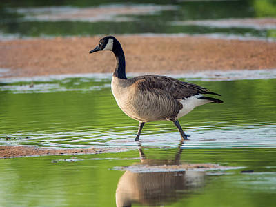 Photograph - Canada Goose by Tam Ryan