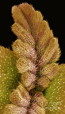 Photograph - Cannabis Seedling,  Sem by Ted Kinsman