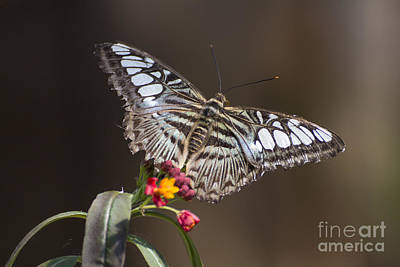 Photograph - Clipper Butterfly by Pietro Ebner