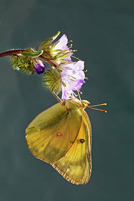 Colias Philodice Photograph - Clouded Sulphur by Buddy Mays