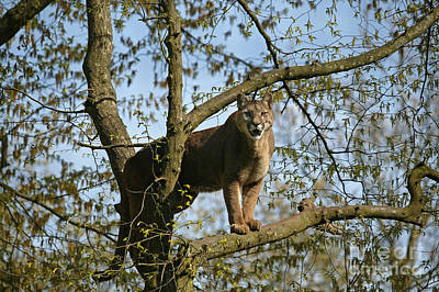 Cougar Puma Concolor Art Print by Gerard Lacz