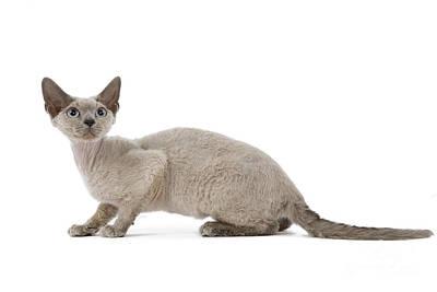 Devon Rex Cat Photograph - Devon Rex Cat by Jean-Michel Labat