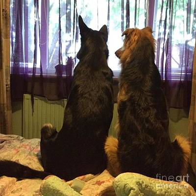 Pets Photograph - #dogs #gsd #germanshepherd by YoursByShores Isabella Shores