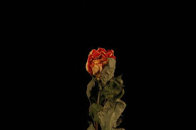 Photograph - Dried Rose by Avril Christophe