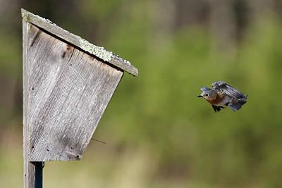 Photograph - Eastern Bluebird Calverton New York by Bob Savage