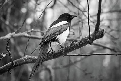 Photograph - Eurasian Magpie by Jouko Lehto