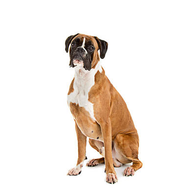 Fawn-colored Boxer Art Print