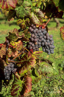 Bunch Of Grapes Photograph - Grapes Growing On Vine by Bernard Jaubert