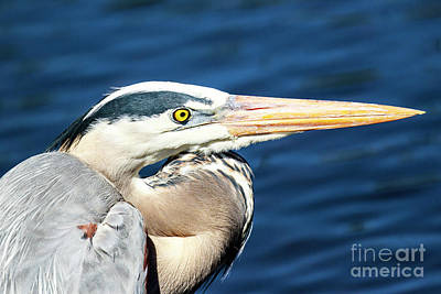 Photograph - Great Blue Heron by Ben Graham