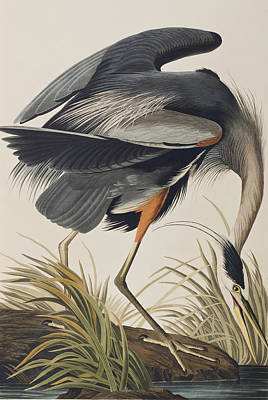 Great Blue Heron Print by John James Audubon