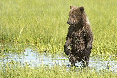 Nature Of Bear. Nature Of Bear In Water.grizzly Photograph - Grizzly Bear  Ursus Arctos Horribilis by Daisy Gilardini