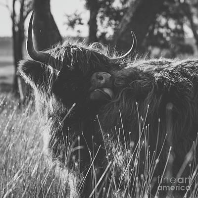 Photograph - Highland Cow On The Farm by Rob D