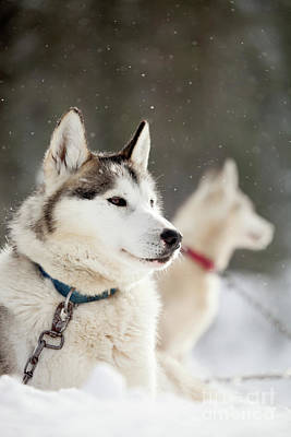 Photograph - Huskies by Kati Molin